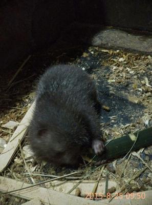 重庆重庆银星竹鼠 2-4斤 生态,包杀包送基地直销,市内者价格可商量