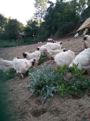 甘肃临夏土乌鸡 4-5斤
