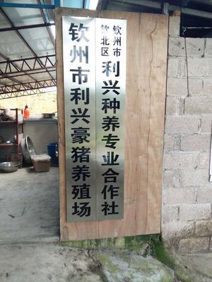 这是一张关于中华豪猪 20-30斤的产品图片