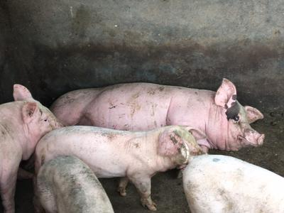 广西玉林猪 140斤以上