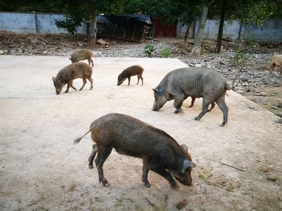 甘肃陇南特种野猪 20-30斤 统货