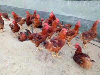 山东省青岛市平度市九斤红公鸡 公 4-5斤