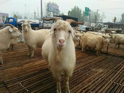 山东菏泽小尾寒羊 30-50斤