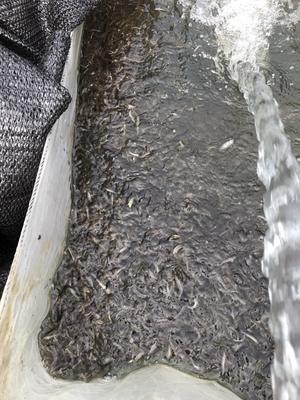 江西赣州台湾泥鳅苗