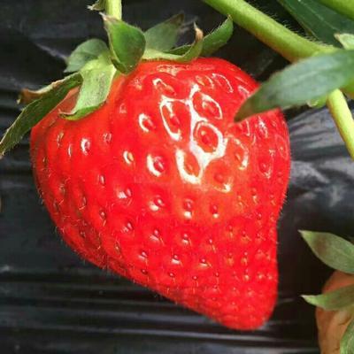 辽宁丹东奶油草莓 30克以上