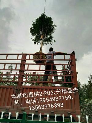 山东省临沂市沂水县流苏树