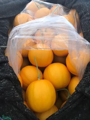 山东聊城瑞红香瓜 2斤以上