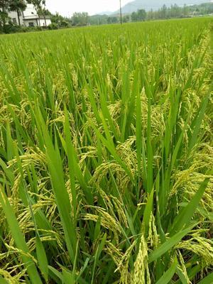 安徽宣城长粒稻