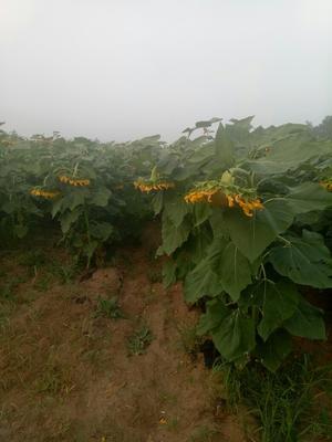 内蒙古乌兰察布363葵花籽