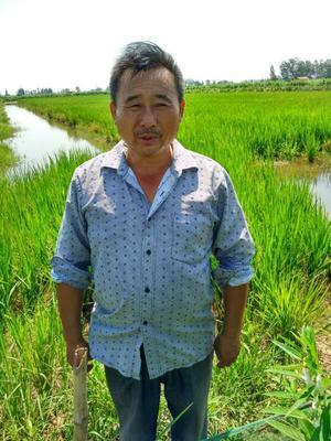 湖北荆州糯稻谷 晚稻 自产加农户合作,98%的干燥度