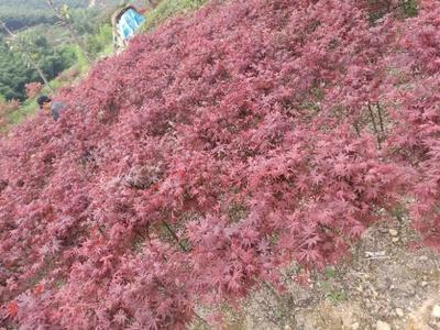 浙江绍兴中国红枫/红叶羽毛枫