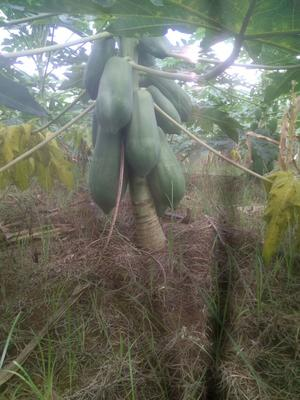 广西崇左青木瓜 3 - 4斤