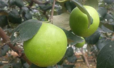这是一张关于枣树苗 特大特甜脆蜜丝枣的产品图片