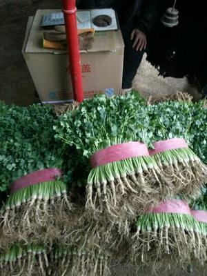 山东聊城铁杆青香菜 25~30cm