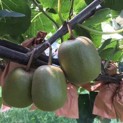 这是一张关于红阳猕猴桃 2两以下 红心的产品图片