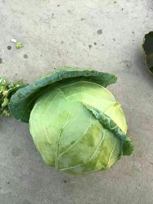 山西省晋中市太谷县铁头圆包菜 1.5~2.0斤