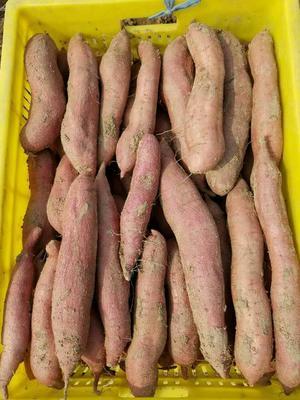 陕西宝鸡板栗薯 红皮 1~3两