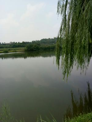 湖南常德白鲢鱼 1.5-4公斤 野生