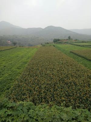 这是一张关于黄小米的产品图片