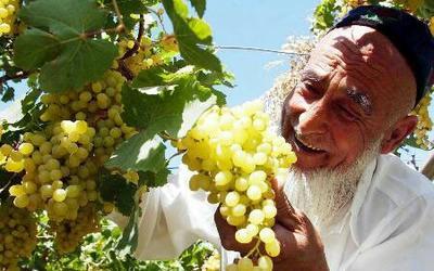 新疆乌鲁木齐无核白葡萄 5%以下 1次果 0.8-1斤