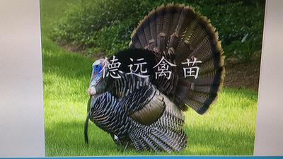 广东广州贵妃鸡 4-5斤