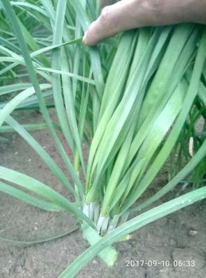 河北张家口大叶韭菜 头茬 30~35cm