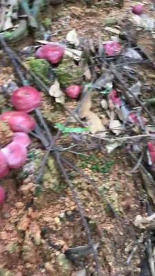 江西赣州干大红菌 袋装 1年