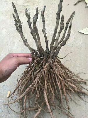 山东菏泽多花芍药 0.5~1米 6~8cm