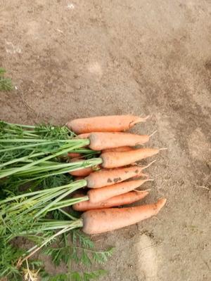 河北张家口三红胡萝卜 3~4cm 10~15cm 4两以上 张北尚义蔬菜种植基地直供胡萝卜