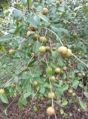 广西梧州有机山茶油