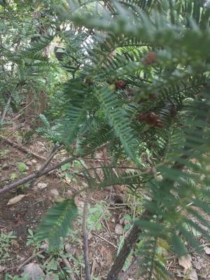 安徽六安造型景观树