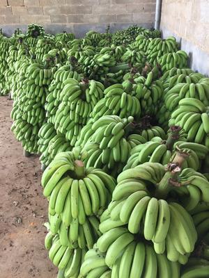 广西南宁威廉斯香蕉 40 - 50斤 八成熟