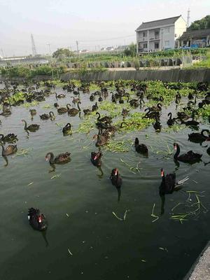 上海黑天鹅 统货 8-10斤