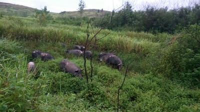 湖南永州生态野猪 60斤以上 统货
