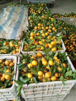 湖北宜昌宜昌蜜桔 5.5 - 6cm 1 - 1.5两 柑桔 蜜桔