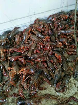 这是一张关于澳洲龙虾苗的产品图片
