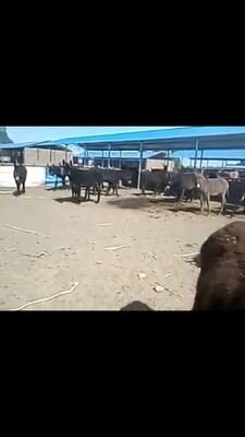 山西忻州毛驴 200-400斤