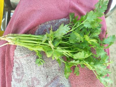 山东泰安小叶香菜 20~25cm