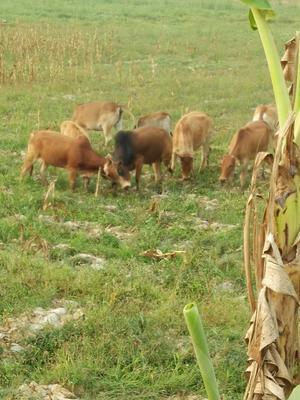 云南西双版纳禽畜副产品 3-6个月