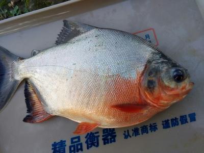 广西贵港红鲳鱼 人工养殖 1-1.5公斤 1斤以下