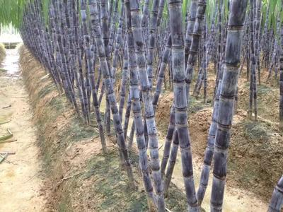 广西玉林黑皮甘蔗 5 - 6cm 2 - 2.5m