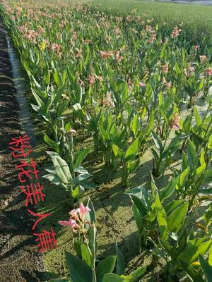 浙江杭州萧山区粉美人蕉 4~6cm 0.5~1米