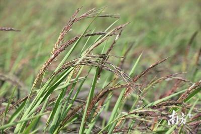广东中山红米