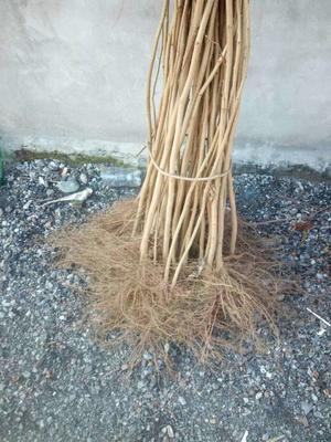 这是一张关于平欧榛子苗 2公分以下的产品图片