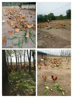 安徽省铜陵市郊区土鸡蛋 食用 箱装