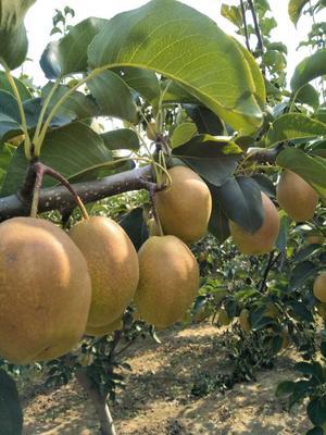 这是一张关于红香酥梨 60 - 70mm 150-200g的产品图片