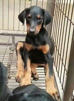 这是一张关于杜宾犬的产品图片