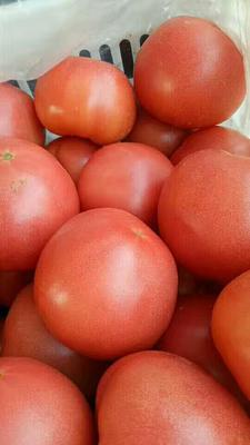 山东聊城粉果番茄 硬粉 弧三以上 不打冷