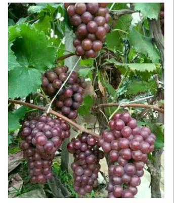 山东临沂巨峰葡萄 2斤以上 5%以下