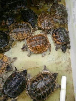 广东茂名鳄龟 20-30cm 4-6斤